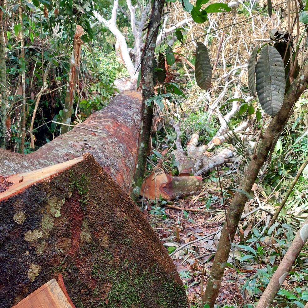 Embrapa flagra invasão de madeireiros ilegais em área de floresta nativa. — Foto: Reprodução / Embrapa